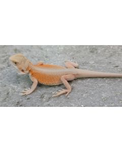 Male Hypo American Leather Witblits 50% Pos Het Trans MHLWPHT9.01.2021