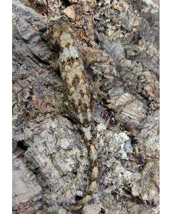 Probable Male GT Chahoua Gecko