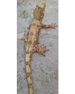 Female Isle of Pines Chahoua Gecko 5FPIPVD27.6.2021