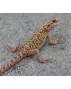 Male Trans Leather100% het Hypo/Zero/Wits MTLHHZW209.21.2021
