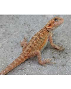 Male Trans Leather 100% het Hypo/Zero/Wits MTLHHZW409.21.2021